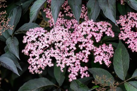 Delicate small pink flowers and purple leaves of Sambucus Black Beauty tree, known as elder or elderberry in a sunny spring garden in Scotland, beautiful outdoor floral background