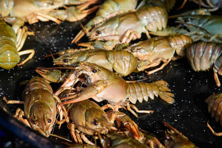 Living raw crayfishes Astacus astacus (noble or broad-fingered crayfish, the most common species of crayfish in Europe) in a black frying pan ready to be cooked at a street food festival, seafood 스톡 콘텐츠