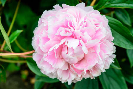 One large delicate pink magenta peony flower in shadow with blurred green leaves background in a garden in a sunny spring day in Scotland, United Kingdom Stockfoto
