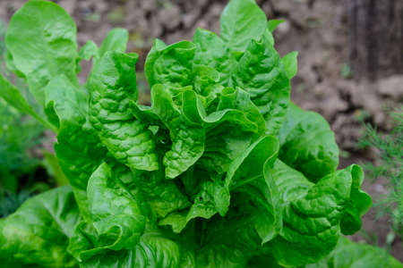 Fresh green organic lettuce leaves in a traditional vegetables garden in a summer day, selective focus