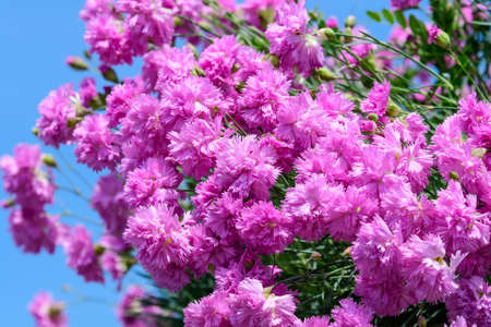 Background with fresh pink carnation flowers (Dianthus caryophyllus) and green leaves, side view Foto de archivo