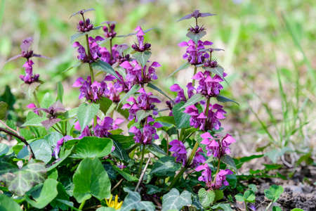 Many vivid dark purple flowers of Lamium album plant, commonly known as dead nettle in a forest in a sunny spring day, beautiful outdoor floral background photographed with soft focus Stok Fotoğraf
