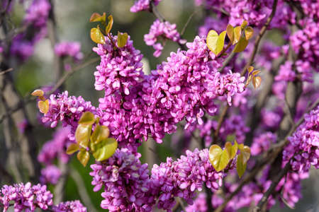 Many vivid pink flowers of Cercis siliquastrum, commonly known as Judas tree or Judas-tree, in a garden in a sunny spring day, beautiful outdoor floral background