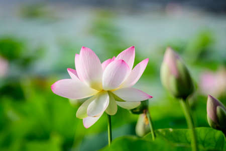 Delicate vivid pink and white water lily flowers (Nymphaeaceae) in full bloom and green leaves on a water surface in a summer garden, beautiful outdoor floral background photographed with soft focus