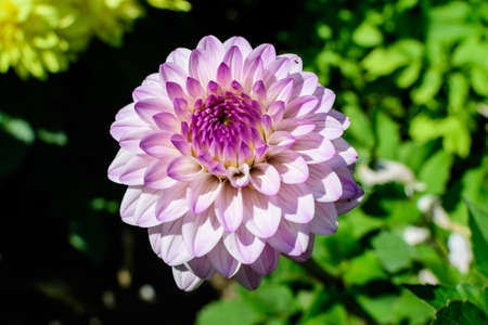Close up of many beautiful large light pink dahlia flowers in full bloom on blurred green background, photographed with soft focus in a garden in a sunny summer day