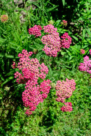 Close up of beautiful vivid pink magenta flowers of Achillea millefolium plant, commonly known as yarrow, in a garden in a sunny summer day