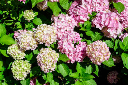Magenta pink hydrangea macrophylla or hortensia shrub in full bloom in a flower pot, with fresh green leaves in the background, in a garden in a sunny summer day Banco de Imagens
