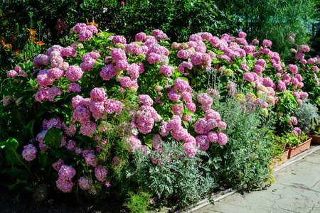 Magenta pink hydrangea macrophylla or hortensia shrub in full bloom in a flower pot, with fresh green leaves in the background, in a garden in a sunny summer day