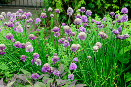 Many fresh vivid pink flowers of Allium schoenoprasum, commonly known as chives, garlic, shallot, leek, scallion, Chinese onion in a herbs garden in a sunny summer day, beautiful outdoor background Banco de Imagens
