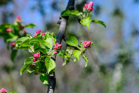 Close up of decorative red crab apple tree flowers blooms and small green leaves on tree branches in a sunny spring garden, beautiful outdoor floral background of a decorative plant