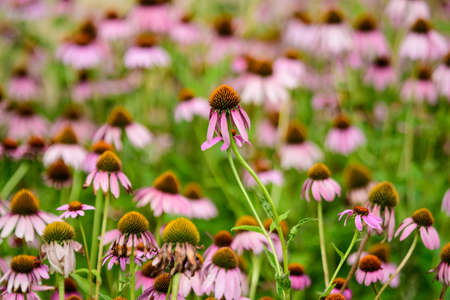 Vivid vivid pink delicate echinacea flowers in soft focus in a garden in a sunny summer day
