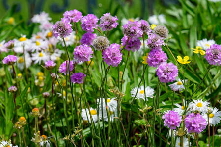 Close up of small vivid pink flowers of Armeria maritima plant, commonly known as thrift, sea thrift or sea pink on a seaside in a sunny summer day in Scotland, beautiful outdoor floral background