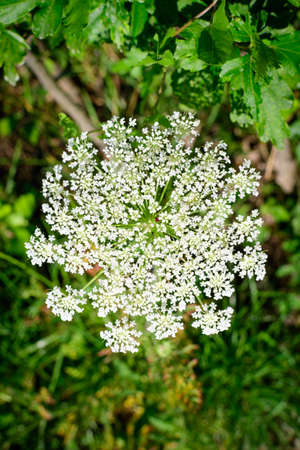 Many delicate white flowers of Anthriscus sylvestris wild perennial plant, commonly known as cow beaked parsley,wildchervil or keck in a forest, outdoor floral background