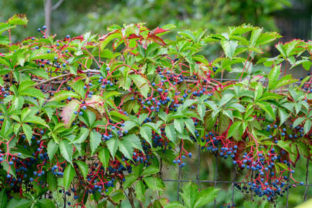 Background with many large green leaves and blue berries of Parthenocissus quinquefolia plant, known as Virginia creeper, five leaved ivy or five-finger, in a garden in a sunny autumn day