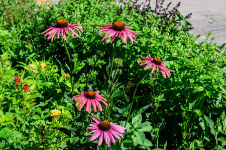 Delicate pink echinacea flowers in soft focus in an organic herbs garden in a sunny summer day
