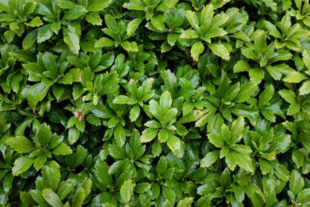 Pachysandra terminalis (Buxaceae), outdoor plants