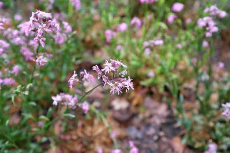Lychnis flos-cuculi (Caryophyllaceae), outdoor plants 2020
