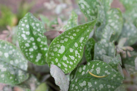 Pulmonaria saccharata (Mr.s Moon), outdoor plants 2020