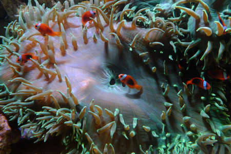 Yellowtail clownfish, (Amphiprion clarkii) and Cinnamon clown, (Amphiprion melanopus)