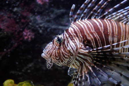 Butterfly Cod, (Pterois volitans)