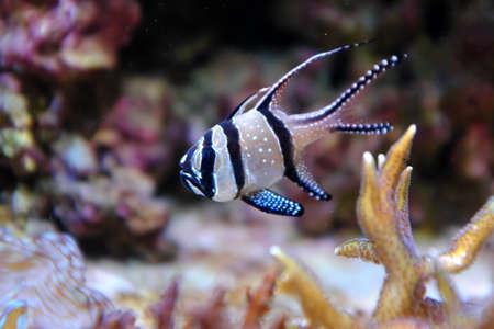 Banggai Cardinalfish, (Pterapogon kauderni)