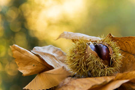 Chestnuts on autumn leaves background 免版税图像