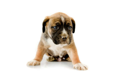molosse: Adorable puppy Boxer on white background