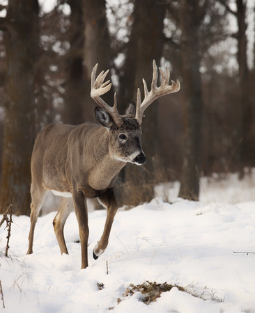 whitetail: Large white-tailed deer buck walking through the forest. Late autumn in Wisconsin Stock Photo