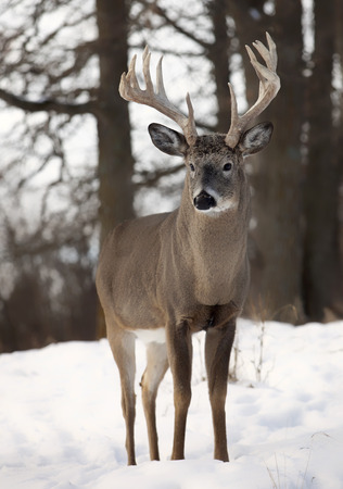 Close-up beeld van een grote, trofee sized wit-staart buck. Herfst in Wisconsin.