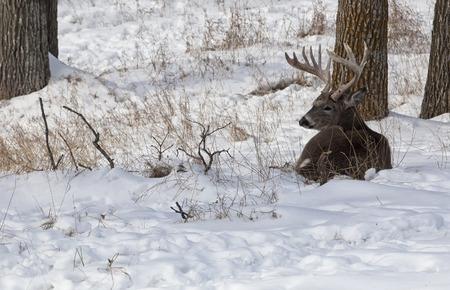 venado cola blanca: El venado cola blanca buck en celo, descansando, acostado en la alerta de nieve. Foto de archivo