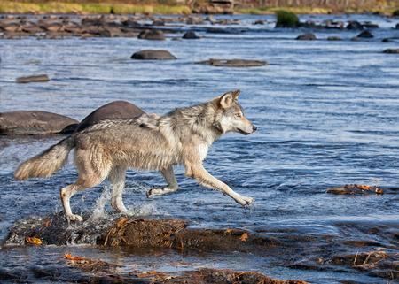 목재 늑대 또는 회색 늑대 강에서 바위를 가로 질러 실행, 먹이를 persuing. 미네소타의 가을. 스톡 콘텐츠