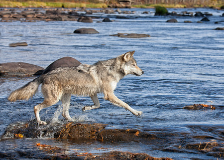 Timber wolf, or gray wolf running across rocks in a river, persuing prey.  Autumn in Minnesota. Stock Photo