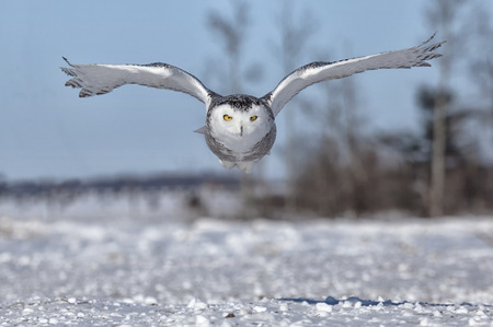 카메라를 향해 비행 눈 올빼미의 이미지를 닫습니다. 미네소타의 겨울