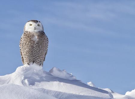 눈 올빼미 관찰의 초상화를 닫습니다 먹이 사냥. 미네소타에서 겨울.