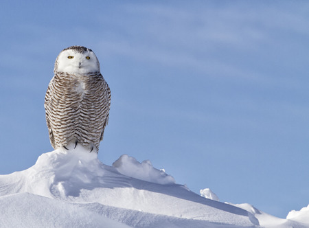 Close up portrait of a snowy owl watching and hunting for prey.  Winter in MInnesota. Zdjęcie Seryjne