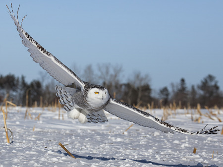 Close up image of a low flying snowy owl hunting for prey.  Winter in Minnesota Stock Photo