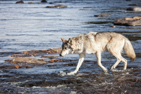 timber wolf: Profile image of a timber wolf, or gray wolf walking through river water