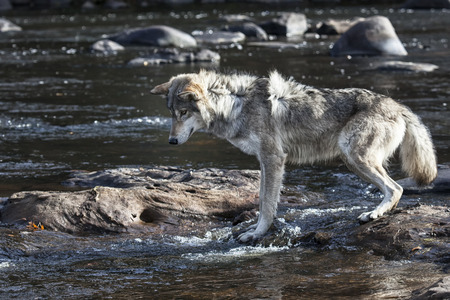 timber wolf: Timber wolf or gray wolf standing on rocks in a river, looking into the water. Stock Photo