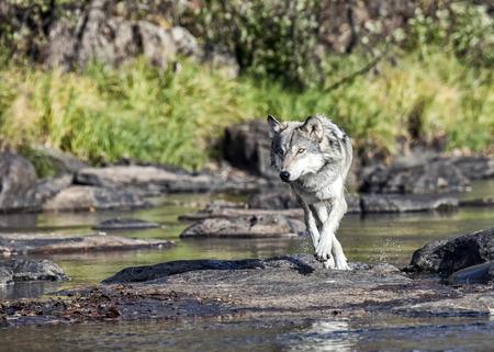 회색 늑대 또는 바다 가장자리에있는 목재 늑대가 카메라를 향해 걷고 있습니다.