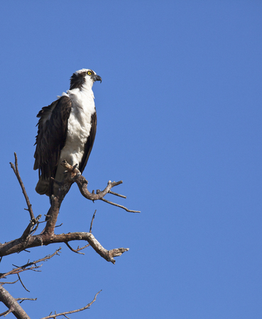 talons: Osprey perched on a tree branch, against a clear, blue sky.