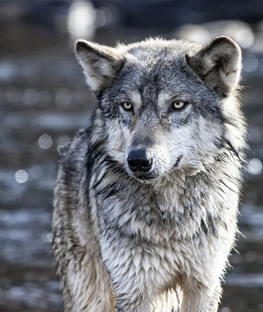 Close up Timber Wolf or Gray Wolf