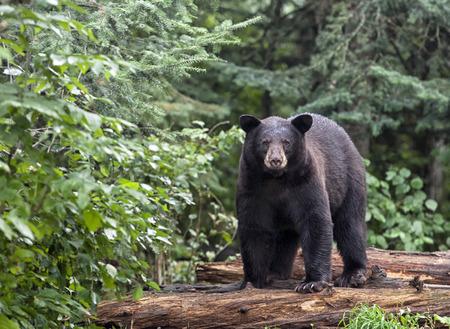 Zwarte beer staande op omgevallen boomstammen, alert en voorzichtig. Zomer in het noorden van Minnesota