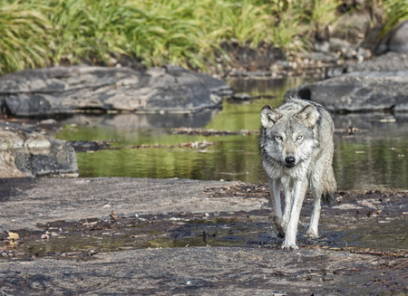 grey wolf: Close up image of a timber wolf wading in the river water, looking toward the camera. Stock Photo