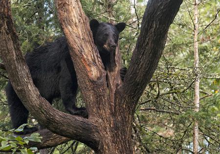 American black bear standing on a tree limb, alert. Northern Minnesota. Banco de Imagens