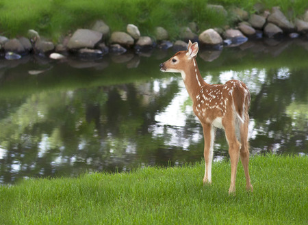 Whitetail deer fawn standing in grass next to a pond. Springtime in Wisconsin Stock Photo