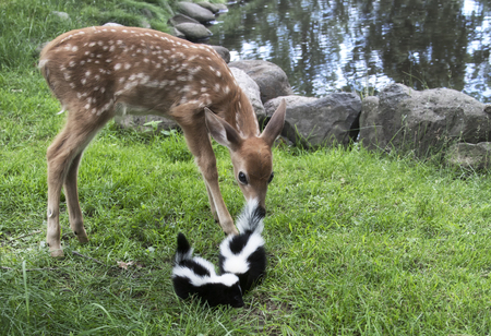 Young whitetail fawn checking out a pair of baby skunks.