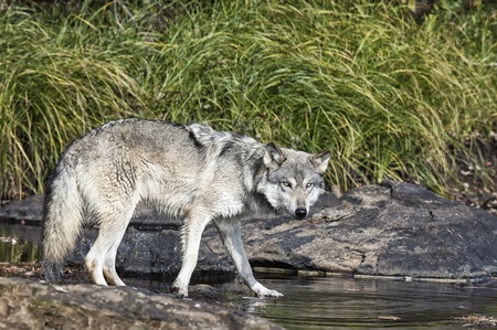 timber wolf: Timber wolf or gray wolf at waters edge