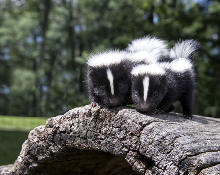 Pair of baby skunks, side by side, on a fallen log. Shallow depth of field