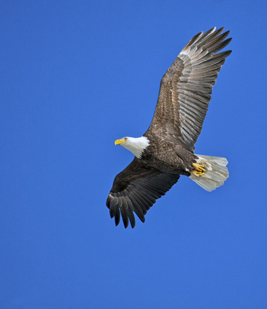 eagle flying: Soaring bald eagle