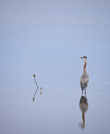 blue heron: Great blue heron standing in calm waters Stock Photo